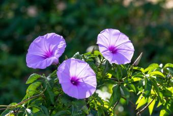 Morning glory flower in sunlight