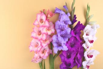 August Birth Flowers: Exploring Bright Gladiolus and Poppy