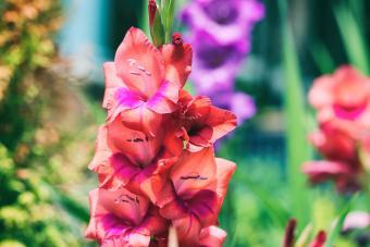 blooms of Gladiolus