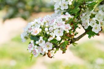 White Hawthorn blossom
