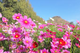 Colorful cosmos flowers blooming in the garden