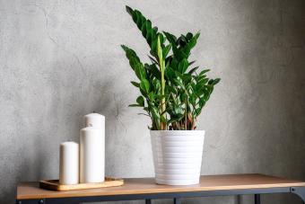 ZZ plant in white flower pot