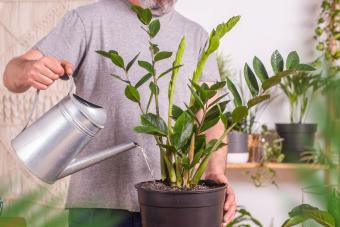Man watering ZZ plant