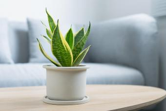 Snake Plant on table