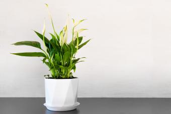 Peace Lily: Care & Growing Tips for a Vibrant, Forgiving Plant