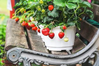 Growing Strawberry Plants in Pots: Your One-Stop Guide