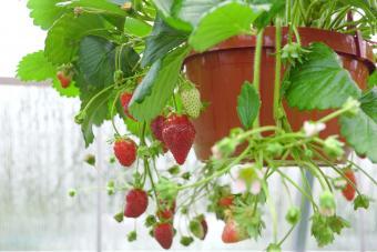 Hanging basket of strawberries