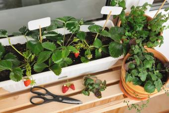 Small strawberry garden built on the balcony in the apartment