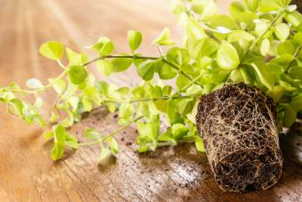 Peperomia plant with roots