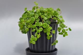 Indoor house plant Peperomia prostrata