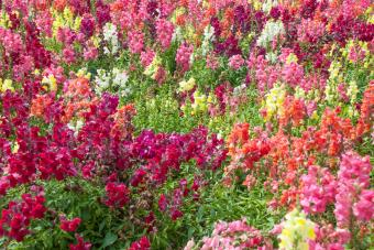 Multi colored snapdragon flowers in soft sunlight in springtime