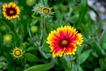 Gaillardia Blooming Outdoors