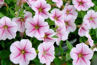 Pink Petunias Blooming Outdoors