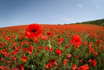 Field of grass plants and poppies