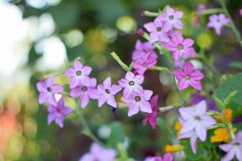 Flowering tobacco shrub