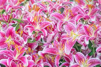 Pink Stargazer Lillies in Full Bloom