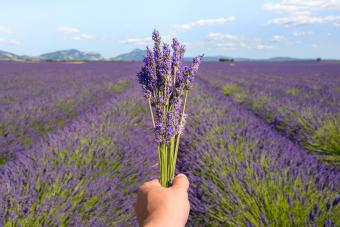 Hand Of Person Holding Lavender Flowers