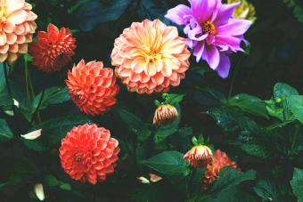 Colored dahlias blooming