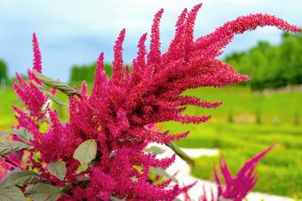 Beautiful big red amaranth flower