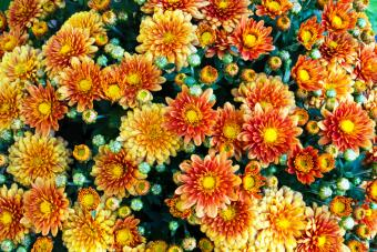 Chriysanthemums in full bloom on an autumn afternoon