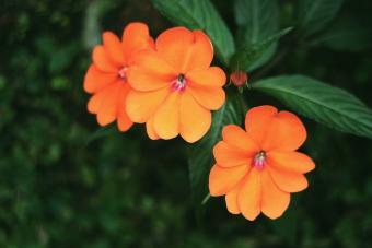 New Guinea Impatiens Flower