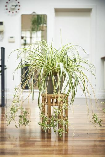 Spider plant with pups on wooden stand