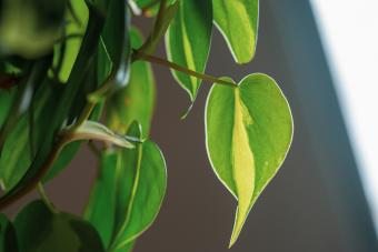 Brasil philodendron soaking up the sunlight