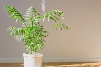 Parlor palm with sunlight