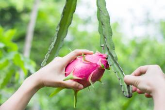 Women's hand touch and hold Dragon fruit in garden
