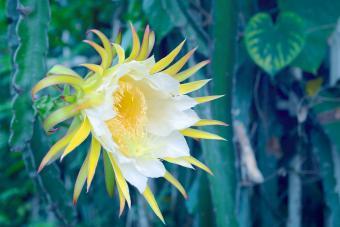 White dragon fruits flower