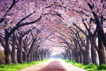 Cherry Tree Varieties: A Fruitful Guide