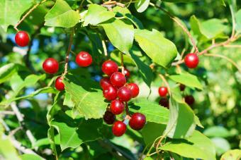 Bird cherry tree ripe red fruits