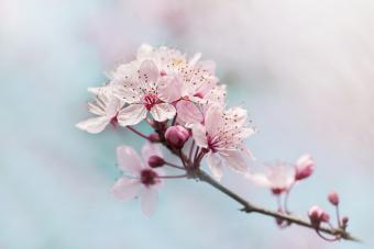 Beautiful spring Black Cherry Plum pink blossom flower
