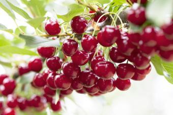 Sour Cherry on Tree