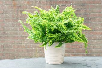 Curly fern in a pot
