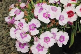 Flora Dwarf Carnations