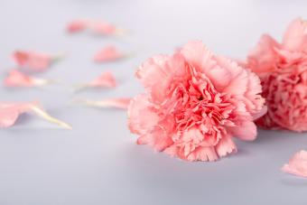 Carnations: Complete Guide to Growing and Types