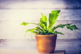 Crocodyllus Fern: Care and Growing Tips for a Healthy Plant