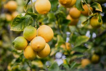 Lemon Tree Care: Outdoor and Indoor Growing Guide