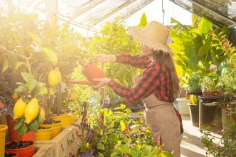 Woman watering lemon trees