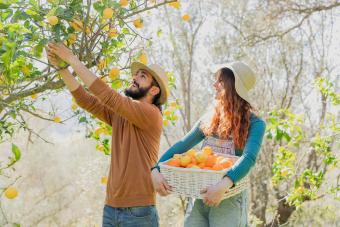 Couple picking organic lemons from a tree