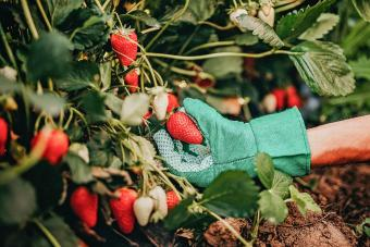 Man picking strawberries on farm