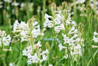 Tuberose Fundamentals: Growing the Fragrant Perennial