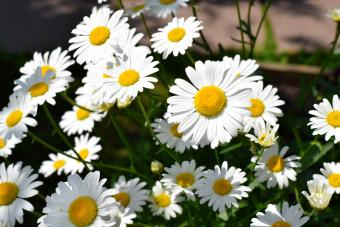 White garden chamomiles on the flower bed