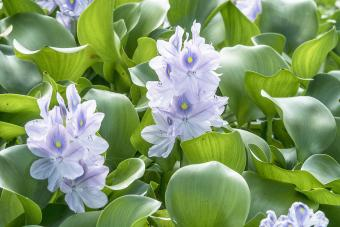 Caring for Water Hyacinth: The Floating Beauty