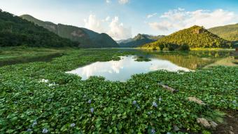 Water hyacinth in reservoir and mountain reflection on water