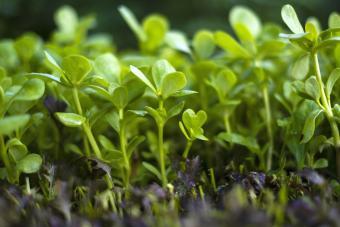 Vibrant green seedling purslane plant