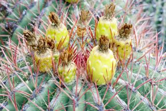 Ferocactus Wislizeni Cactus in Bloom
