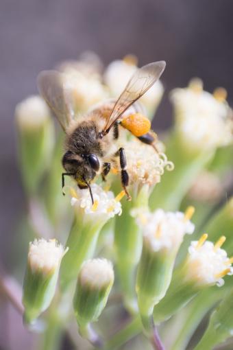 Bee on white flower of a Fingertip succulent