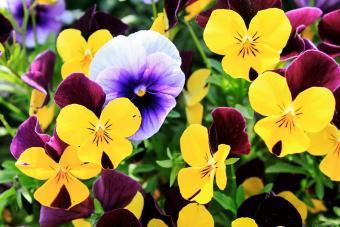 Pansies Blooming Outdoors